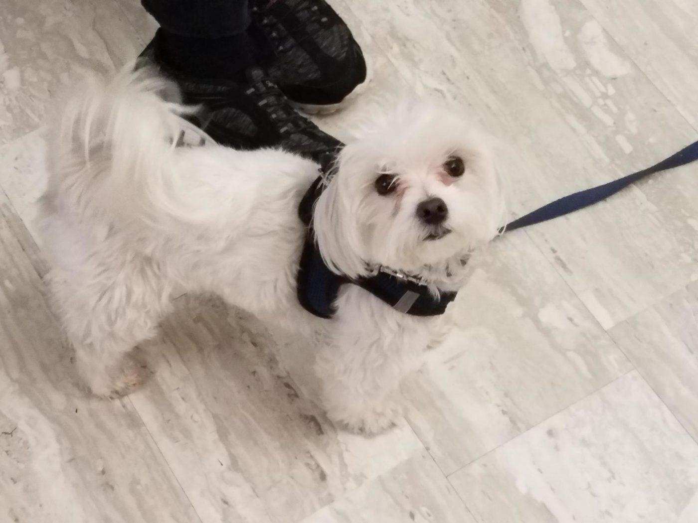 #maltesedogtraining #smalldogtraining, #barkbustersdogtrainingbrooklyn