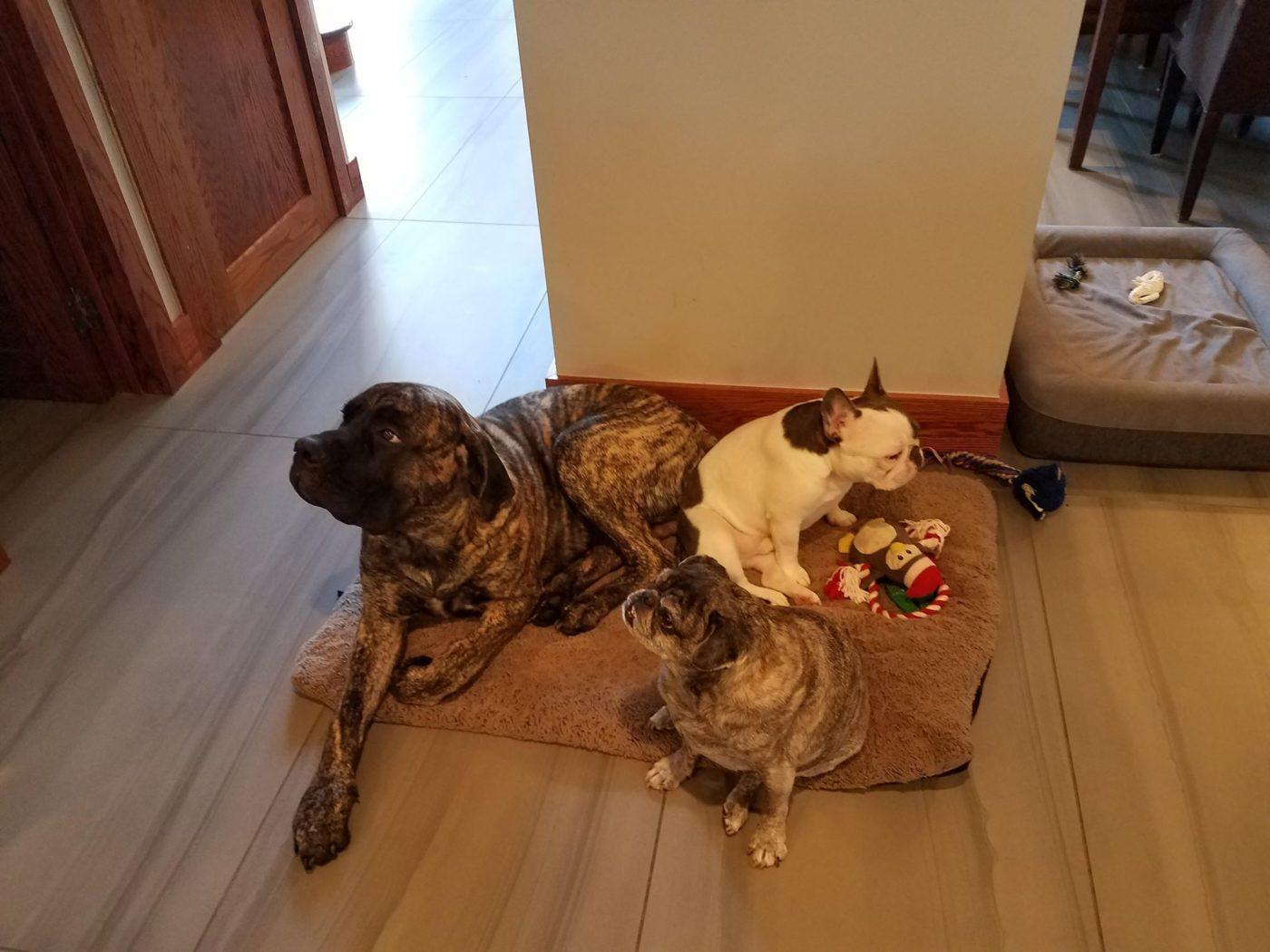 #mastiffdogtraining #pugdogtraining, #dogsofbarkbusters