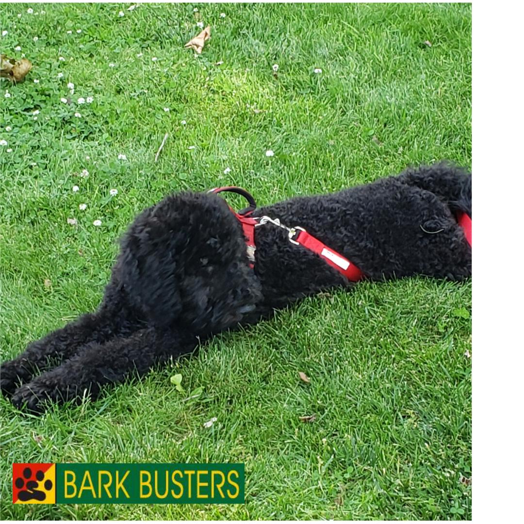 #barkbustersgoldendoodletraining #barkbustersstatenisland